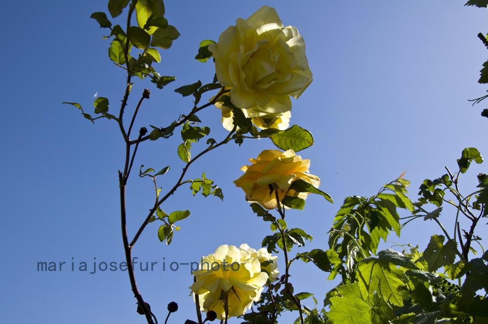 rosa-amarilla-calaceite